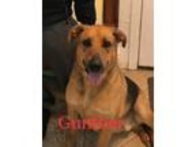 Adopt Gunther a Black - with Brown, Red, Golden, Orange or Chestnut German