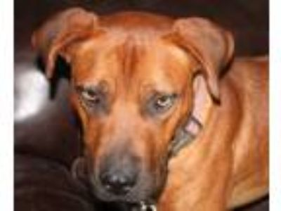 Adopt Duke a Red/Golden/Orange/Chestnut Labrador Retriever / Pit Bull Terrier /