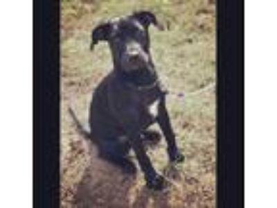 Adopt duke a Black - with White Labrador Retriever / Ibizan Hound / Mixed dog in