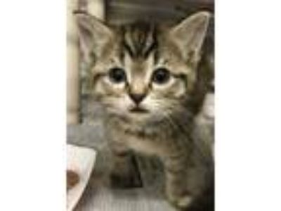 Adopt Bunny - M. Hamilton a Brown or Chocolate Domestic Shorthair / Domestic