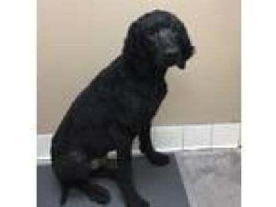 Adopt Charlemagne a Mixed Breed (Large) / Mixed dog in Spokane Valley