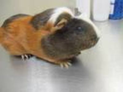 Adopt Happy a Brown or Chocolate Guinea Pig / Guinea Pig / Mixed small animal in