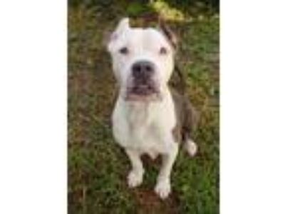 Adopt Hazel a American Staffordshire Terrier, Pit Bull Terrier