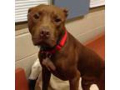 Adopt Ruger-Benchwarmer! a Pit Bull Terrier, Mixed Breed