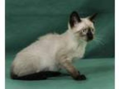Adopt Moze a Tan or Fawn (Mostly) Siamese / Mixed (short coat) cat in Davis