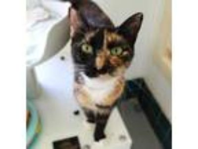 Adopt Monica a All Black Domestic Shorthair / Domestic Shorthair / Mixed cat in