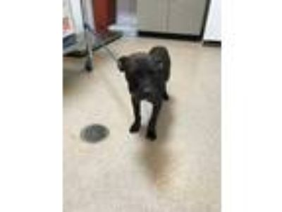 Adopt Alfred a Black Retriever (Unknown Type) / Mixed dog in Fort Worth