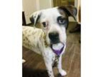 Adopt Sprout a White - with Black Boston Terrier / Beagle / Mixed dog in