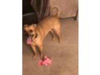 Adopt Chance a Black - with Tan, Yellow or Fawn Black Mouth Cur / Labrador