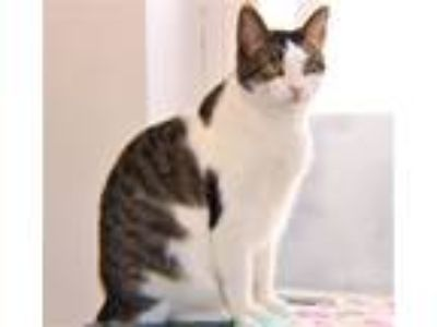 Adopt Oprah a Domestic Short Hair