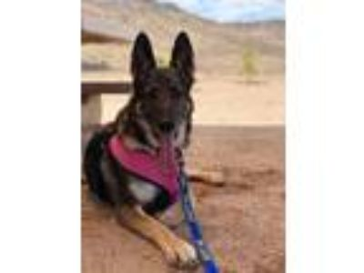 Adopt Lola a Black - with Tan, Yellow or Fawn German Shepherd Dog / Mixed dog in