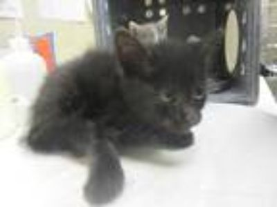 Adopt Grace a All Black Domestic Shorthair / Domestic Shorthair / Mixed cat in