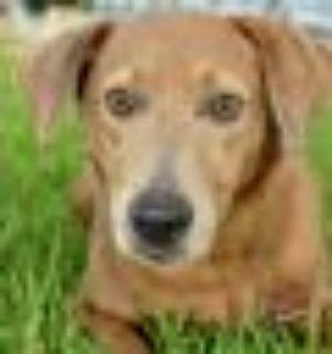 Fynn Chocolate Labrador Retriever - Labrador Retriever Dog