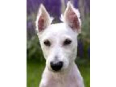 Adopt Murphy a White Miniature Schnauzer / Mixed dog in Chicago, IL (25596426)