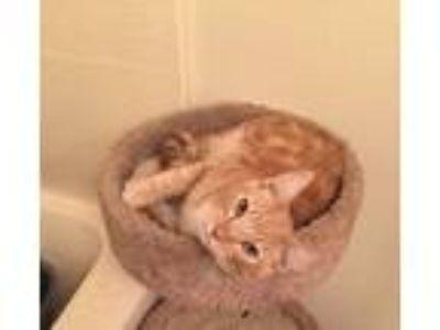 Adopt Leo a Orange or Red Domestic Mediumhair / Mixed cat in Fontana