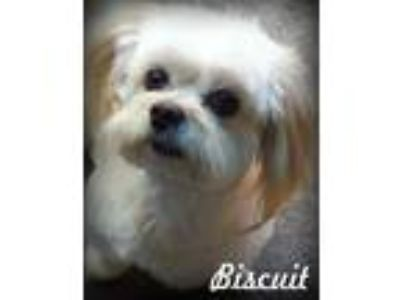 Adopt Biscuit a Tricolor (Tan/Brown & Black & White) Shih Tzu / Pomeranian /