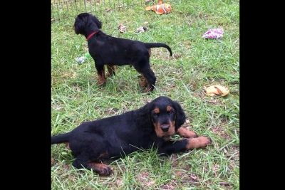 Gordon Setter Puppies
