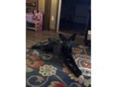 Adopt Luna a Black German Shepherd Dog / Labrador Retriever dog in Spartanburg