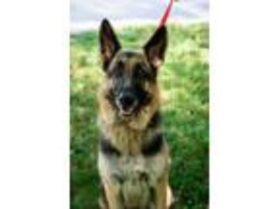 Adopt Lucaya a German Shepherd Dog