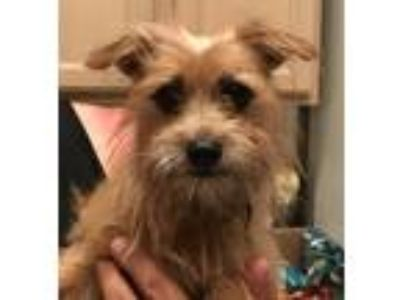 Adopt Perez a Tan/Yellow/Fawn - with White Shih Tzu / Cairn Terrier / Mixed dog