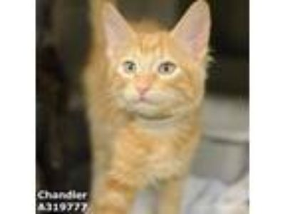Adopt CHANDLER a All Black Domestic Shorthair / Mixed (short coat) cat in