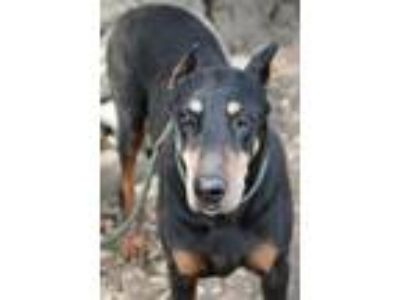 Adopt Hennessy a Black - with Tan, Yellow or Fawn Doberman Pinscher / Mixed dog