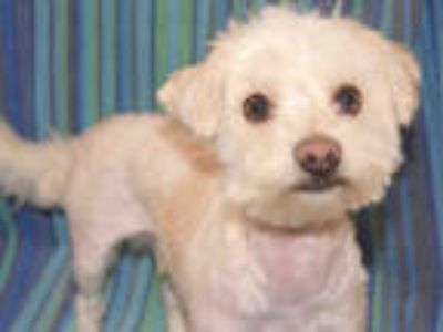 Adopt a White Poodle (Miniature) / Mixed dog in Upland, CA (25856384)
