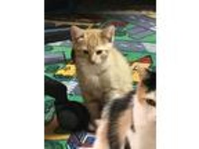 Adopt midnight bj a Orange or Red American Shorthair cat in Warr Acres