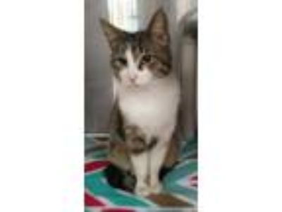Adopt Rosa a White Domestic Shorthair / Domestic Shorthair / Mixed cat in