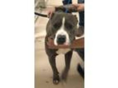 Adopt Gucci a American Staffordshire Terrier
