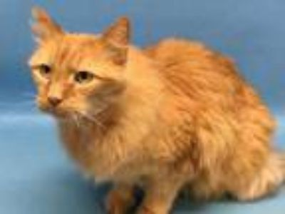 Adopt Pippin a Orange or Red Domestic Longhair / Mixed cat in Golden Valley