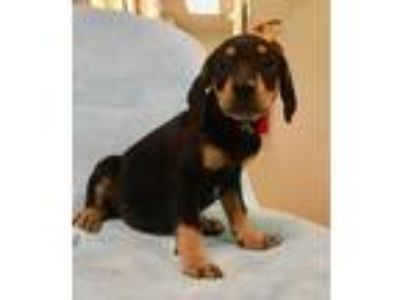 Adopt Warrior a Black - with Tan, Yellow or Fawn Black and Tan Coonhound / Hound