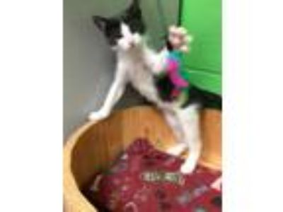 Adopt Declan a Domestic Short Hair