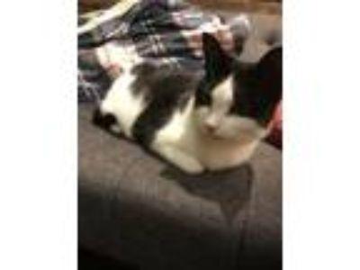 Adopt Leni a American Shorthair