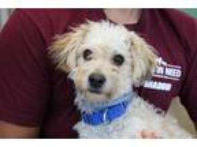 Adopt LUIGI a Poodle (Standard) / Mixed dog in Redwood City, CA (25508873)