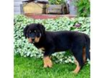 Adopt Tank a Black - with Brown, Red, Golden, Orange or Chestnut Rottweiler /