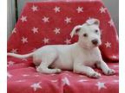 Adopt Winona a White Pit Bull Terrier / Pointer / Mixed dog in Los Angeles