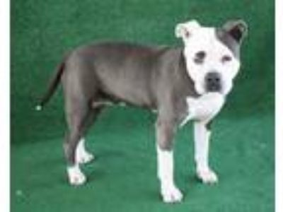Adopt *SANDI a Gray/Silver/Salt & Pepper - with White American Pit Bull Terrier
