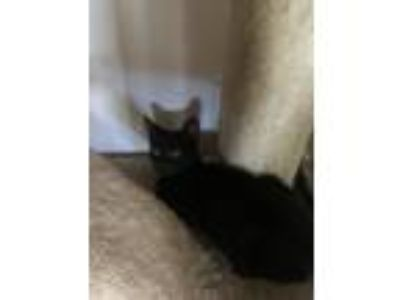 Adopt JJ a Black (Mostly) Domestic Shorthair / Mixed cat in Hobe Sound