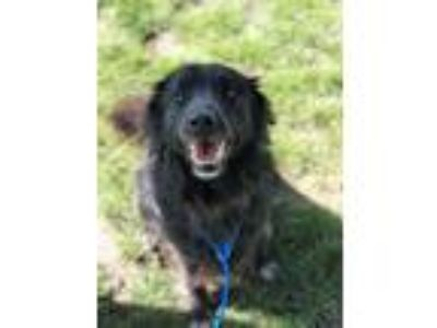 Adopt Willets a Border Collie, Labrador Retriever