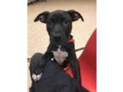 Adopt Squeek a American Staffordshire Terrier / Mixed dog in Utica