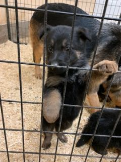 German Shepherd Dog PUPPY FOR SALE ADN-118212 - AKC German Shepherd Puppies