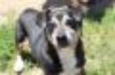 Nochi Beagle - Dachshund Dog