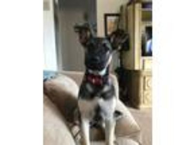 Adopt Shatzi a Belgian Shepherd / Malinois, German Shepherd Dog
