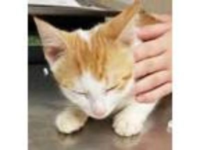 Adopt Flambe a Orange or Red Domestic Shorthair / Domestic Shorthair / Mixed cat