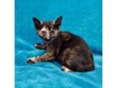 Adopt Kendall a Tortoiseshell Domestic Shorthair cat in Culver City