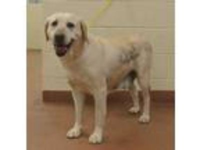 Adopt 57876 Annie a Tan/Yellow/Fawn Labrador Retriever / Mixed dog in Spanish