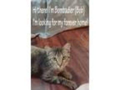 Adopt Bobardier a Brown Tabby American Shorthair / Mixed cat in Oklahoma City