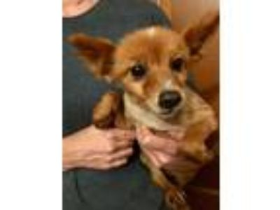 Adopt Almond a Red/Golden/Orange/Chestnut - with White Pomeranian / Mixed dog in