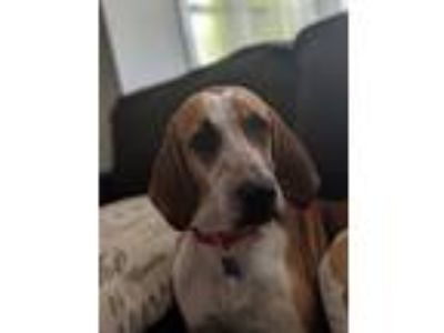 Adopt Laney a Hound, Mixed Breed